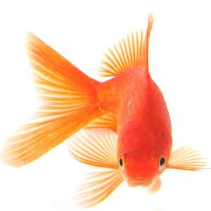 ParisianGoldfish